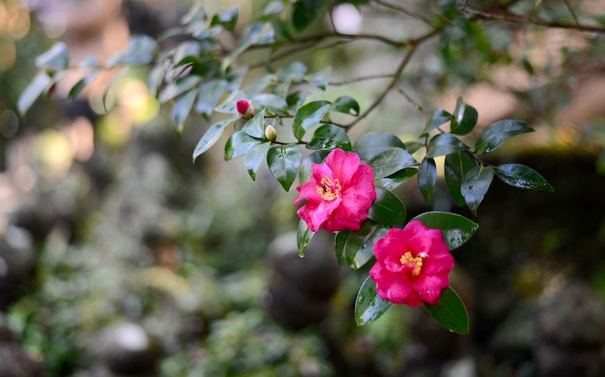 浄妙寺-紅葉-椿